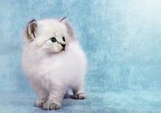 Σιβηρικό γατάκι colorpoint στοκ φωτογραφίες με δικαίωμα ελεύθερης χρήσης