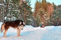 Σιβηρικό γεροδεμένο γραπτό χρώμα σκυλιών με τα μπλε μάτια στο ηλιόλουστο διάστημα χειμερινών δασικό αντιγράφων Στοκ φωτογραφίες με δικαίωμα ελεύθερης χρήσης