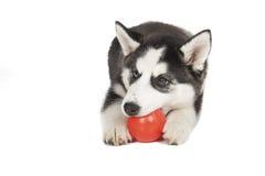Σιβηρικό γεροδεμένο σκυλί Στοκ Εικόνα