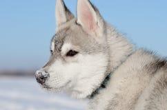 Σιβηρικό γεροδεμένο σκυλιών σχεδιάγραμμα μύτης κουταβιών χιονώδες Στοκ Φωτογραφία