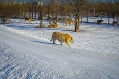 Σιβηρικό πάρκο τιγρών στο Χάρμπιν, Κίνα στοκ εικόνες