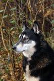 Σιβηρικό σκυλί Λάικα κυνηγιού, Στοκ εικόνες με δικαίωμα ελεύθερης χρήσης