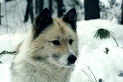 Σιβηρικό σκυλί Λάικα κυνηγιού Στοκ εικόνες με δικαίωμα ελεύθερης χρήσης