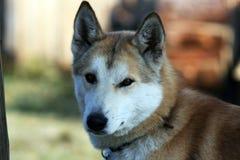 Σιβηρικό σκυλί Λάικα, περιοχή κυνηγιού του Ιρκούτσκ Στοκ Φωτογραφίες