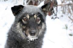 Σιβηρικό σκυλί Λάικα, περιοχή κυνηγιού του Ιρκούτσκ, Στοκ Εικόνες