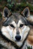 Σιβηρικό σκυλί Λάικα, Σιβηρία κυνηγιού, Στοκ εικόνες με δικαίωμα ελεύθερης χρήσης