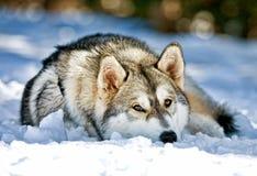σιβηρικό χιόνι τοποθέτησης σκυλιών γεροδεμένο Στοκ Φωτογραφίες