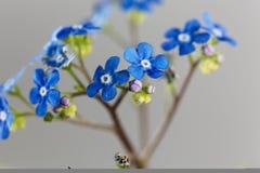 Σιβηρικό macrophylla Brunnera λουλουδιών bugloss στοκ εικόνα με δικαίωμα ελεύθερης χρήσης