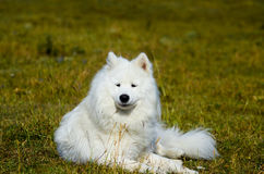 Σιβηρικό Samoyed, άσπρο γεροδεμένο σκυλί Στοκ Εικόνες