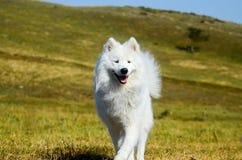 Σιβηρικό Samoyed, άσπρο γεροδεμένο σκυλί Στοκ Φωτογραφία