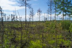 σιβηρικό taiga περιοχών πεύκων καρυδιών συγκομιδής Ιρκούτσκ Στοκ φωτογραφία με δικαίωμα ελεύθερης χρήσης