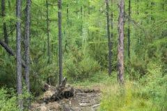 σιβηρικό taiga περιοχών πεύκων καρυδιών συγκομιδής Ιρκούτσκ Στοκ Εικόνες