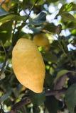 Σισιλιάνο λεμόνι στο δέντρο Στοκ Εικόνες