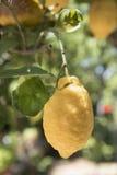 Σισιλιάνο λεμόνι στο δέντρο Στοκ εικόνες με δικαίωμα ελεύθερης χρήσης