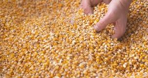 Σιτάρια καλαμποκιού που εμπίπτουν κάτω στο χέρι αγροτών ` s μορφής σάκων καλαμποκιού φιλμ μικρού μήκους