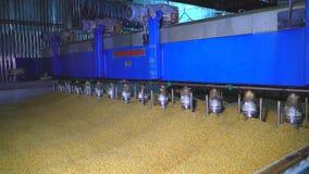 Σιτάρια κριθαριού που προετοιμάζονται σε ένα τεράστιο εμπορευματοκιβώτιο για την παρασκευάζοντας διαδικασία απόθεμα βίντεο