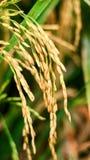 Σιτάρια ρυζιού στοκ εικόνες