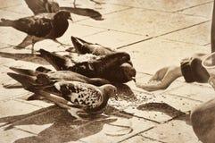 Σιτάρια σίτισης παιδιών στα πουλιά περιστεριών περιστεριών vintag Στοκ εικόνες με δικαίωμα ελεύθερης χρήσης