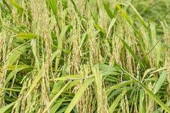 Σιτάρια του ρυζιού στοκ φωτογραφίες