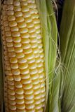 Σιτάρια του ώριμου καλαμποκιού στοκ φωτογραφίες με δικαίωμα ελεύθερης χρήσης
