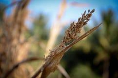Σιτάρι, αγροτική συγκομιδή συγκομιδών Στοκ φωτογραφία με δικαίωμα ελεύθερης χρήσης