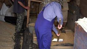 Σιτάρι βρωμών σεσουλών ατόμων με το φτυάρι στον κάδο από την αναδρομική μηχανή κοσκινίσματος στη σιταποθήκη απόθεμα βίντεο