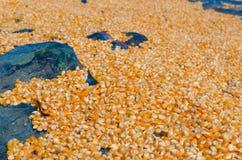 Σιτάρι καλαμποκιού Στοκ φωτογραφίες με δικαίωμα ελεύθερης χρήσης