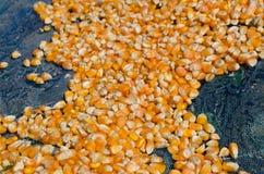 Σιτάρι καλαμποκιού Στοκ Εικόνα