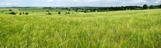σιτάρι πεδίων πράσινο Στοκ Εικόνα
