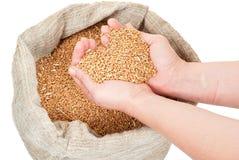 Σιτάρι σίτου στα χέρια στοκ εικόνα με δικαίωμα ελεύθερης χρήσης