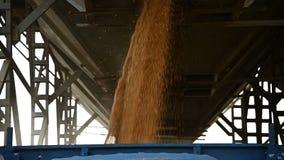 Σιτάρι σίτου φόρτωσης σε σε αργή κίνηση Συγκομιδή του σίτου σιταριού σε ένα ημιρυμουλκούμενο όχημα από μια χοάνη σιτοβολώνων Σιτά απόθεμα βίντεο