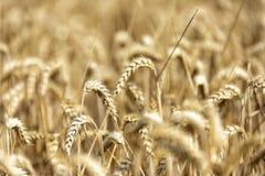 Σιτάρι σε έναν τομέα στην Ευρώπη στοκ φωτογραφίες