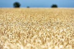 Σιτάρι σε έναν τομέα στην Ευρώπη στοκ φωτογραφία