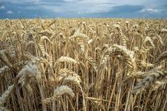 Σιτάρι σε έναν τομέα στην Ευρώπη στοκ εικόνα με δικαίωμα ελεύθερης χρήσης