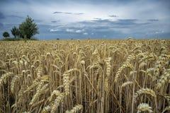 Σιτάρι σε έναν τομέα στην Ευρώπη στοκ φωτογραφία με δικαίωμα ελεύθερης χρήσης