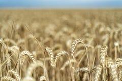 Σιτάρι σε έναν τομέα στην Ευρώπη στοκ εικόνες με δικαίωμα ελεύθερης χρήσης