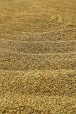 Σιτάρι του ρυζιού Στοκ Φωτογραφία