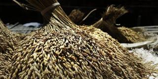 Σιτάρι του ρυζιού Στοκ Εικόνα
