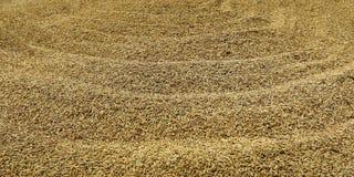 Σιτάρι του ρυζιού Στοκ εικόνα με δικαίωμα ελεύθερης χρήσης