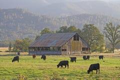 Σιταποθήκη & βοοειδή στοκ εικόνες