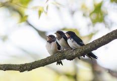 σιταποθήκη τριών η μικρή αστεία νεοσσών καταπίνει να καθίσει μαζί σε έναν κλάδο περιμένοντας τους γονείς των πουλιών στοκ εικόνα με δικαίωμα ελεύθερης χρήσης