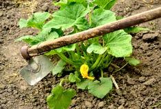Σκάβοντας ανθίζοντας τομέας κολοκύθας κηπουρών Στοκ Φωτογραφίες