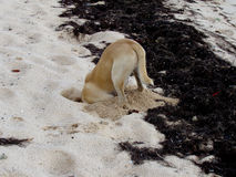 σκάβοντας σκυλί Στοκ εικόνες με δικαίωμα ελεύθερης χρήσης