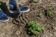 Σκάβοντας χώμα άνοιξη με το pitchfork Στοκ Φωτογραφίες