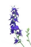 σκάλα s λουλουδιών jacob Στοκ Φωτογραφίες