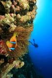 σκάφανδρο δυτών anemone clownfish Στοκ Εικόνες