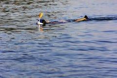 Σκάφανδρο που βουτά στα ανοικτά νερά στοκ φωτογραφία
