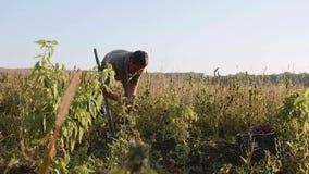 Σκάψιμο της Farmer επάνω με ένα showel και γλυκές πατάτες συγκομιδής στον τομέα απόθεμα βίντεο