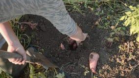 Σκάψιμο της Farmer επάνω με ένα showel και γλυκές πατάτες συγκομιδής στον τομέα φιλμ μικρού μήκους
