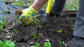 Σκάψιμο του φυτοχώματος από το pitchfork κλείστε επάνω Σε αργή κίνηση 120fps απόθεμα βίντεο